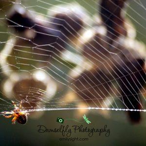 spiderdewhollyhockweavewm