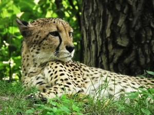 animals, cheetah