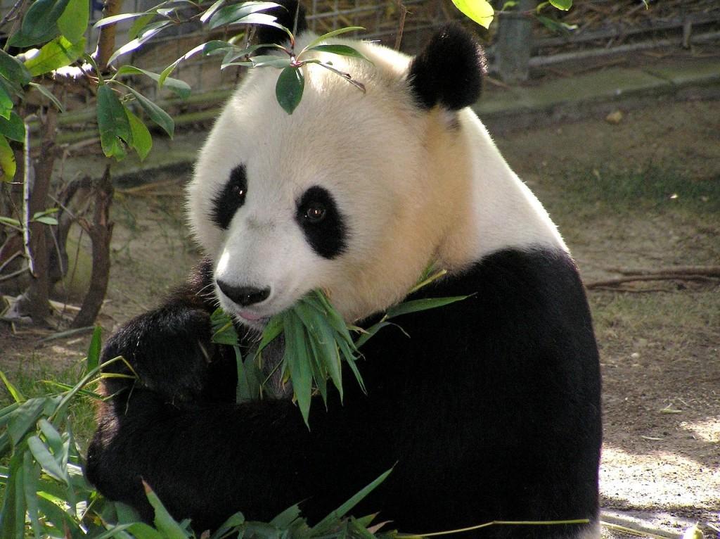 panda, global warming