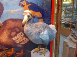dodo, bird, biology