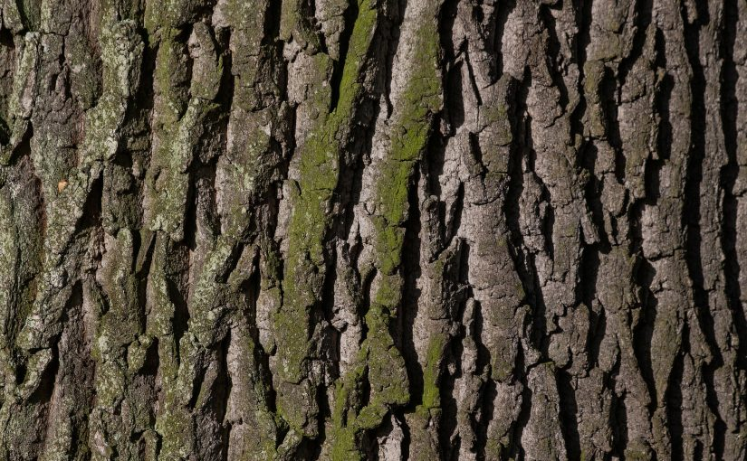 oak, oak tree, nature