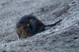 rat, rats, animals, new zealand
