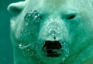 polar bear, bears, animals