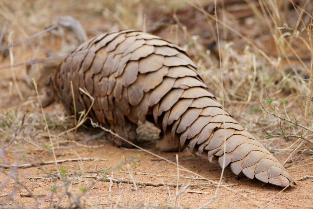 pangolin, pangolins, animals