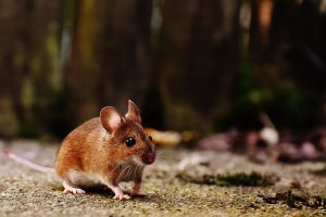 mouse, mice, science, animals