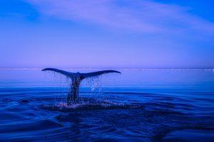 whale, whales, ocean, animals