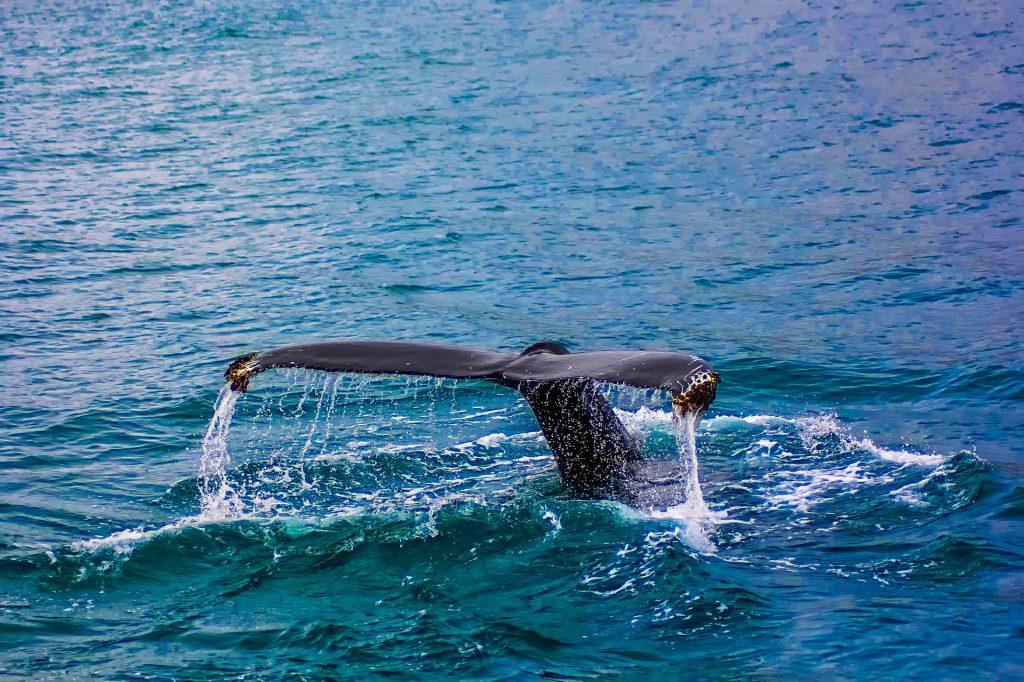 whales, whale, ocean, animals