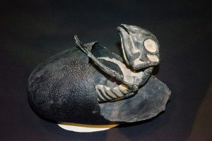 =A cast of an embryonic Maiasaur emerging from an egg, on display at the Museum of the Rockies in Bozeman, Montana.