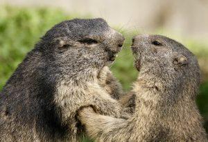 marmot, animals