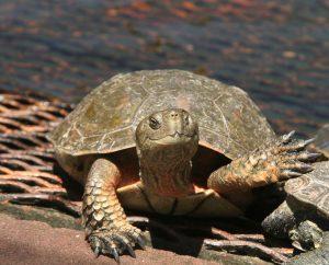 turtle, turtle on grate, friendly turtle