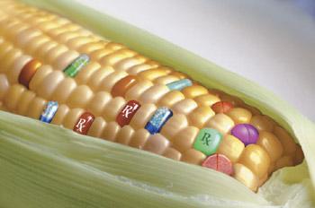 GMO Corn Kernels