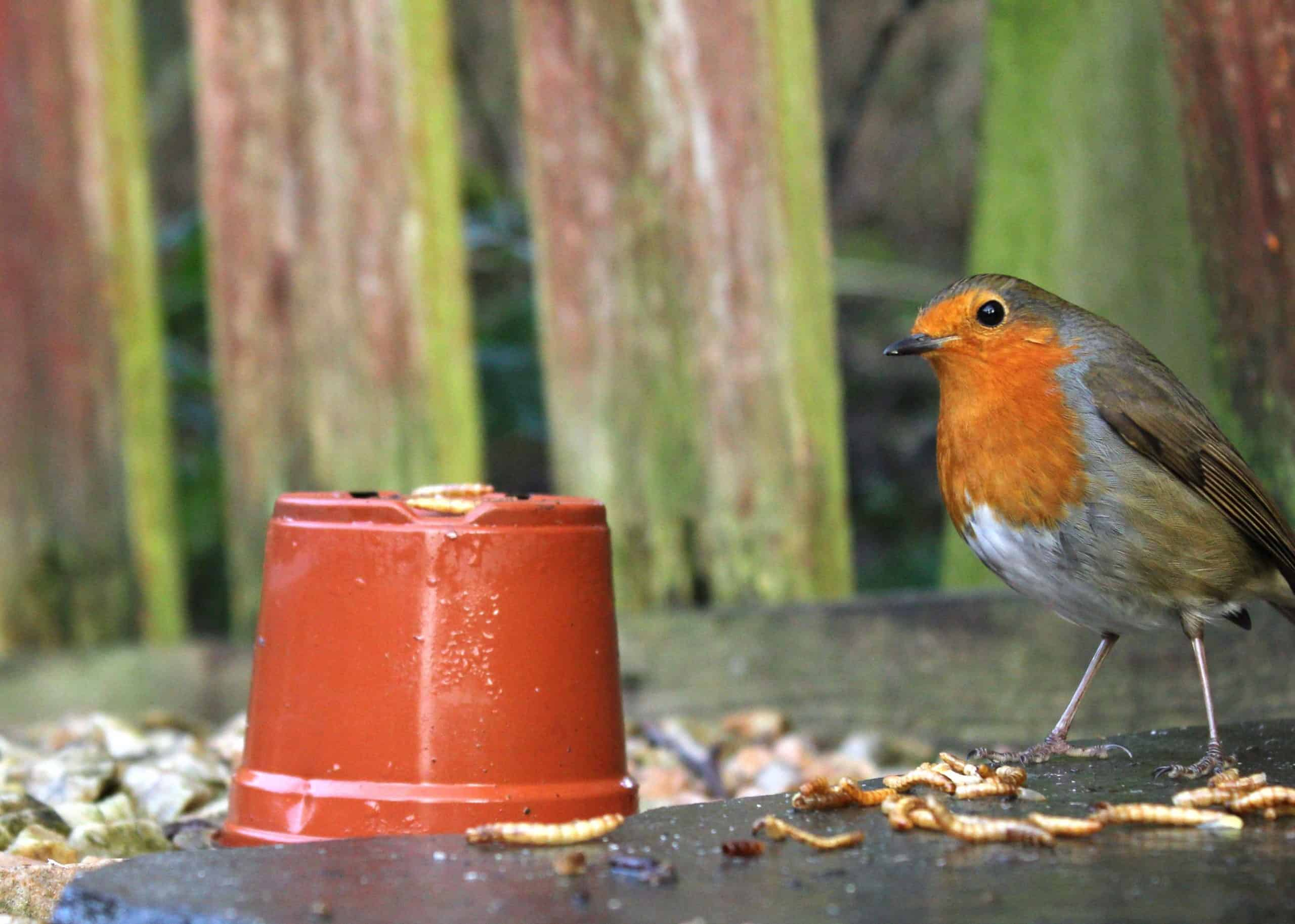 Robin and Mealworms