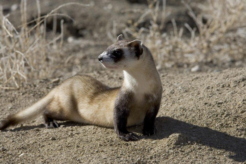 ferrets, animals, science