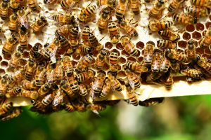 bees, pollinators, insects, bee
