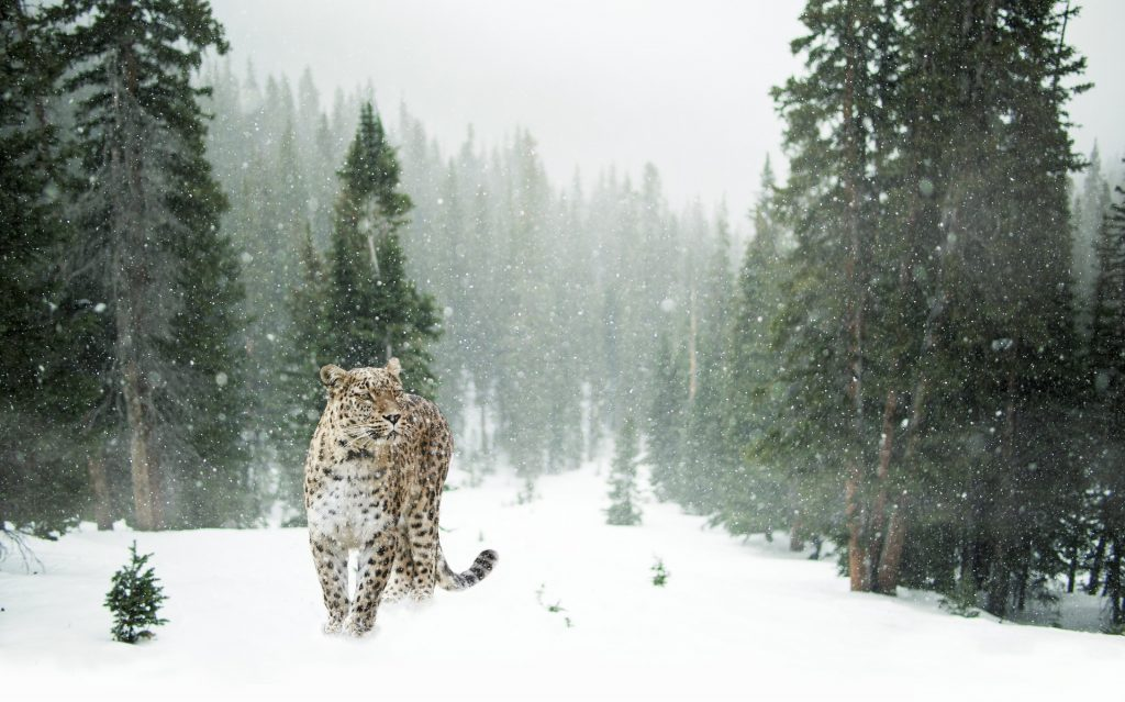 snow leopards, animals, extinction