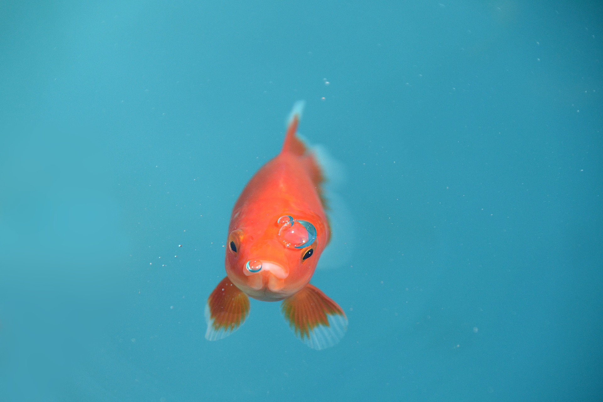 goldfish, fish, animals