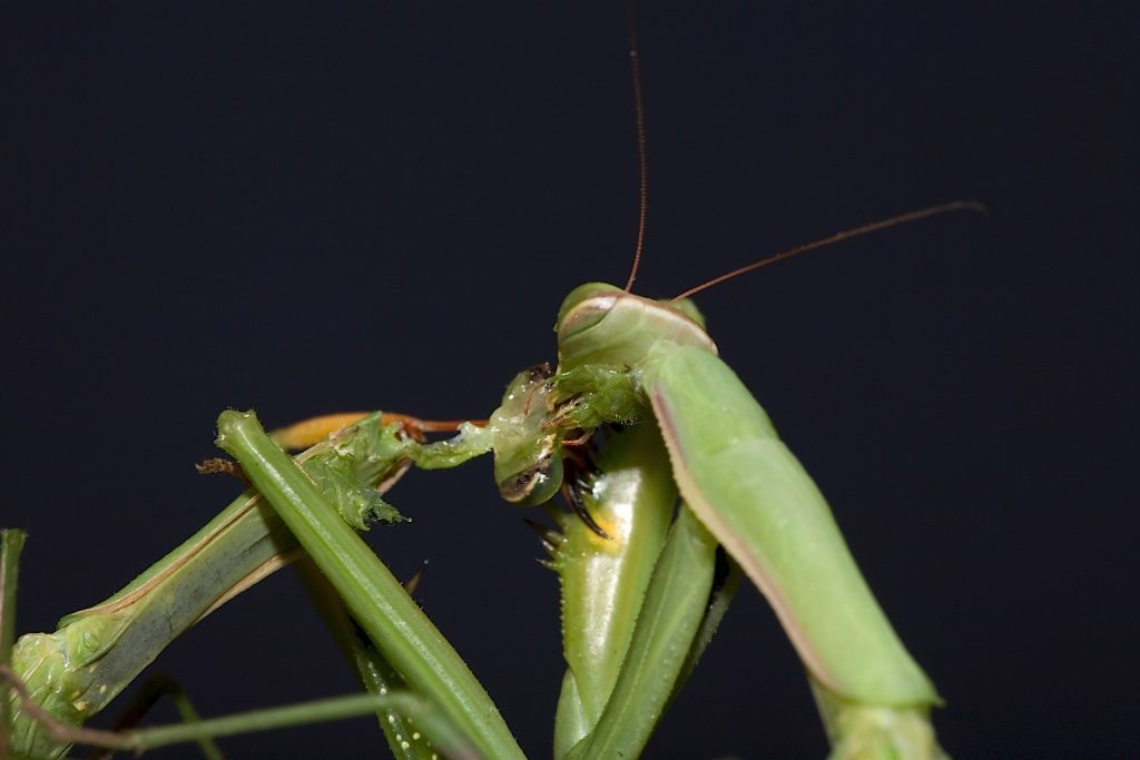 Praying mantis, mantis sex