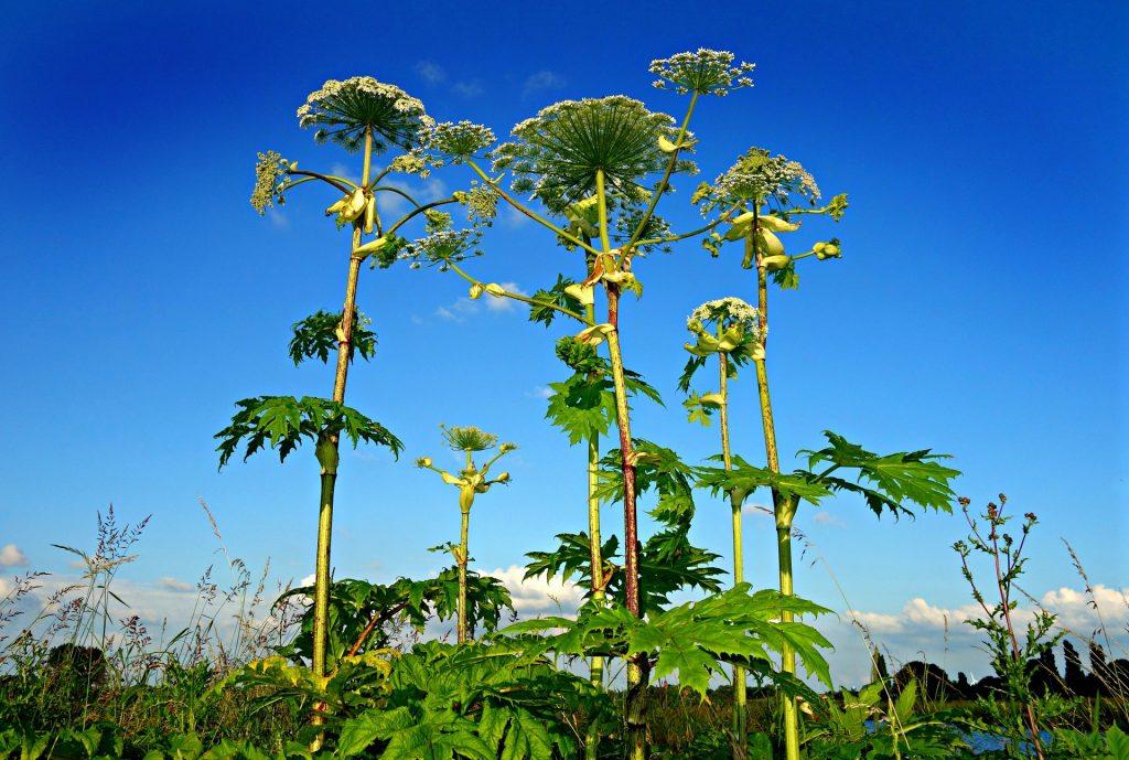 hogweed, plants