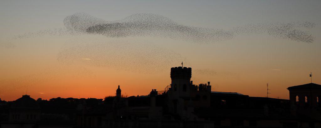 flock, birds, mummuration, bird behaviour, animal behaviour