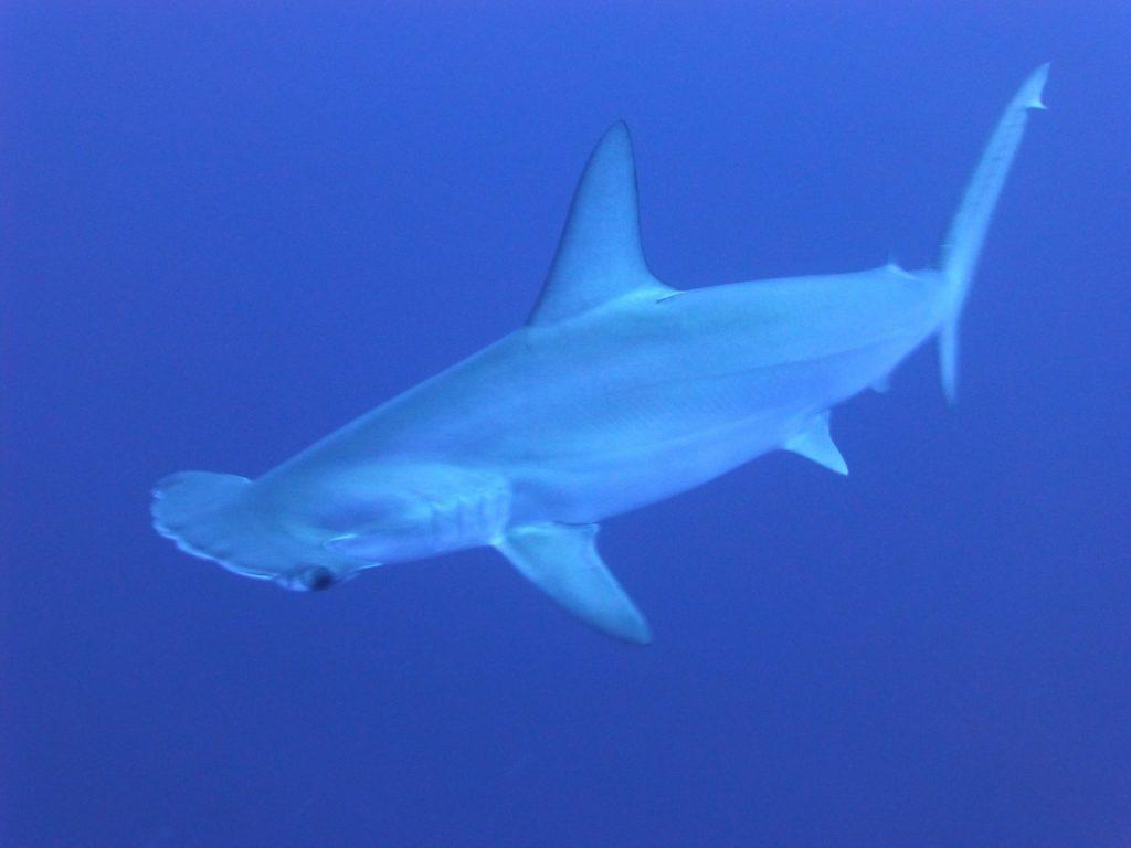 sharks, hammerhead