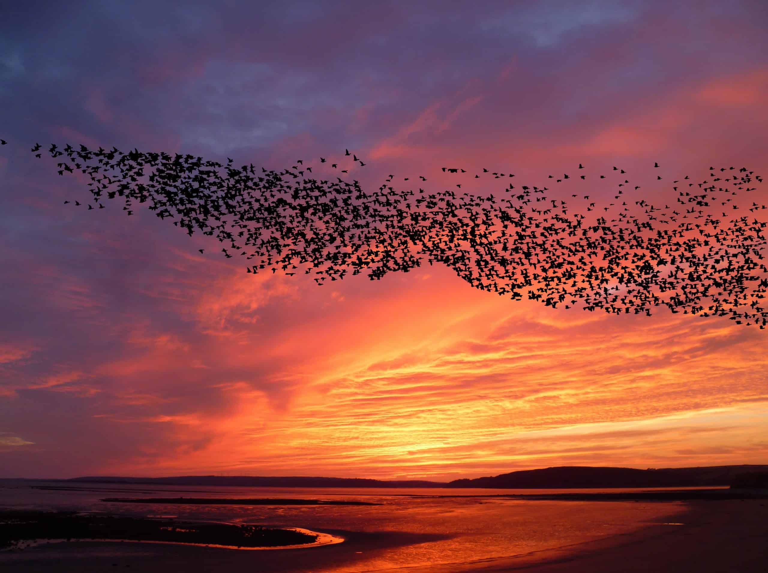 mumuration, flocking birds, sunset and blackbirds