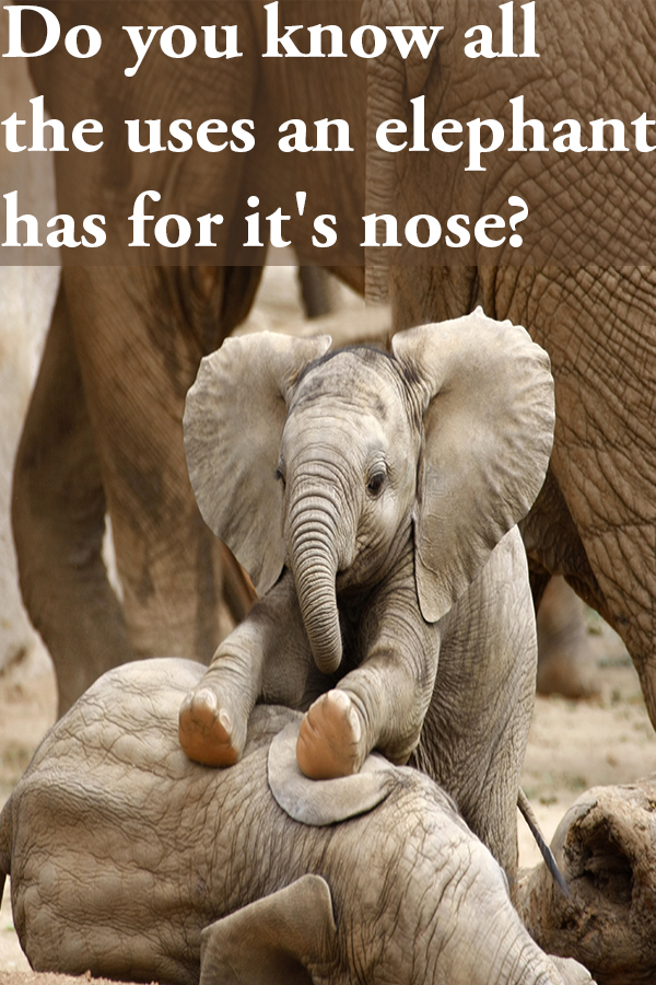 Elephants noses