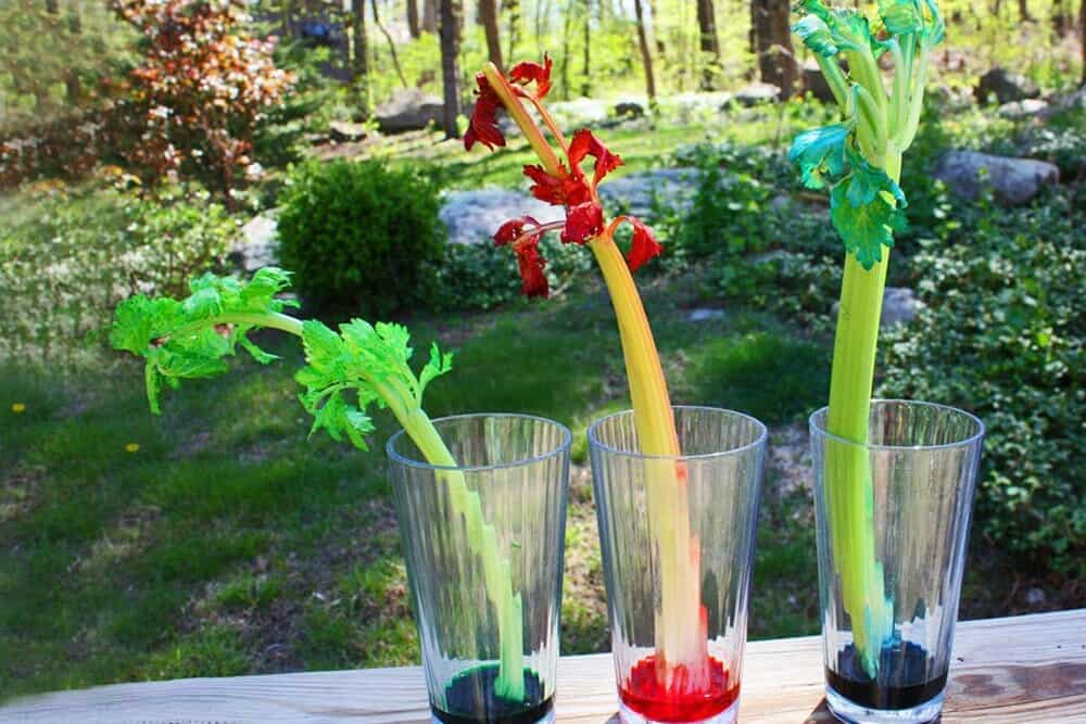Capillary action with celery
