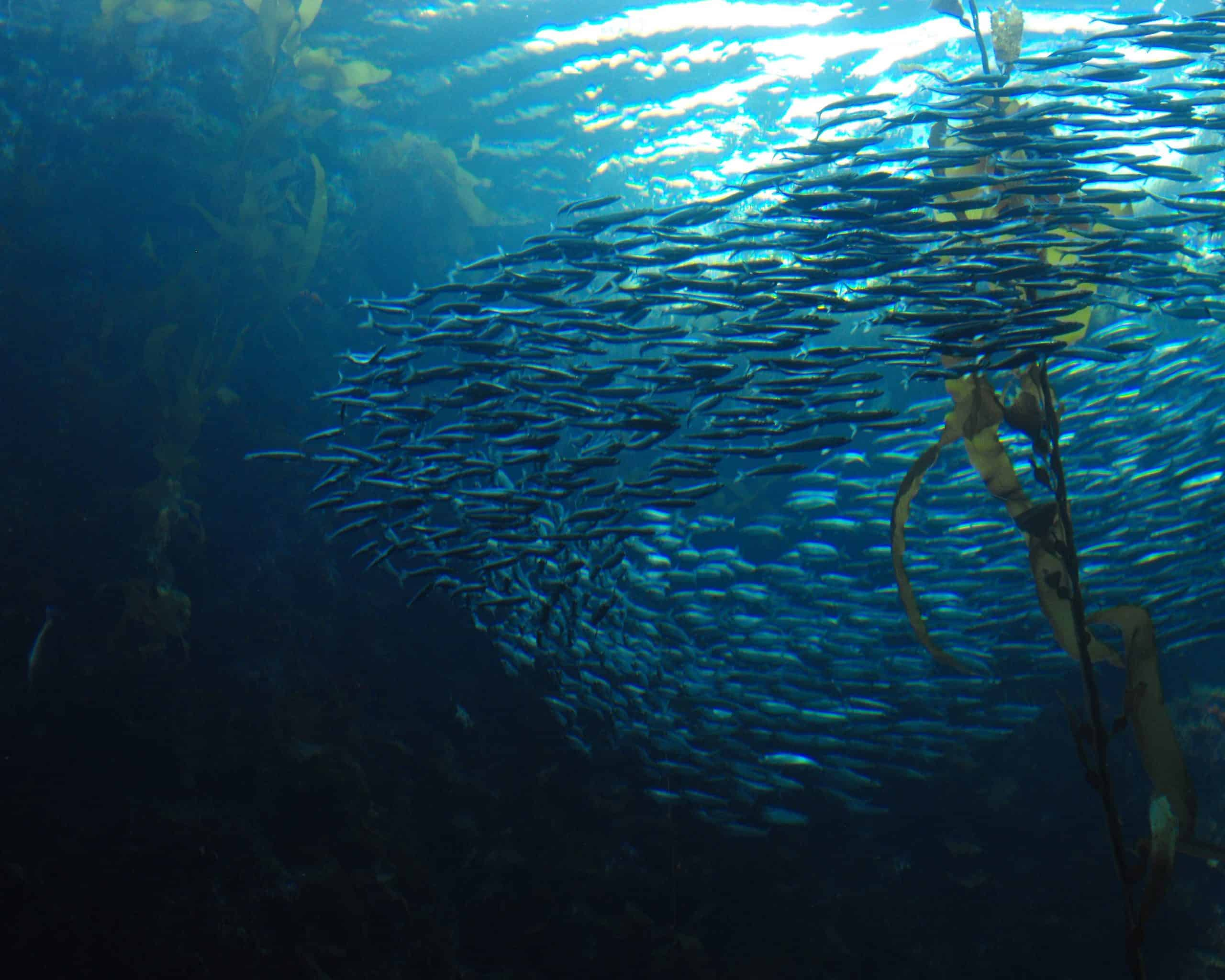 mumuration, schooling fish,